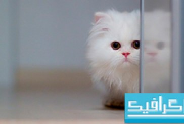 دانلود والپیپر گربه White Cat