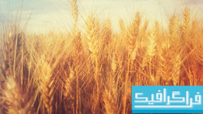 دانلود والپیپر مزرعه گندم Grain Field