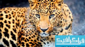 دانلود والپیپر پلنگ Leopard