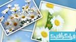 دانلود تصاویر استوک گل های بابونه