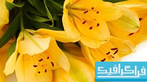 دانلود تصاویر استوک گل زنبق زرد و سفید