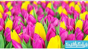 دانلود تصاویر استوک گل لاله
