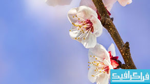 دانلود والپیپر شکوفه Apricot Flower