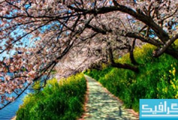 دانلود والپیپر شکوفه Cherry Blossom
