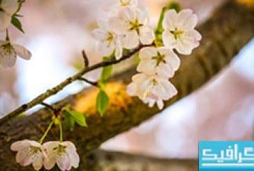 دانلود والپیپر شکوفه Let the Cherry Blossom