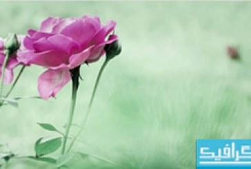 دانلود والپیپر گل Rose