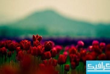 دانلود والپیپر گل لاله قرمز