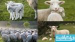 دانلود تصاویر استوک گوسفند