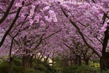 دانلود والپیپر بهار شکوفه درختان