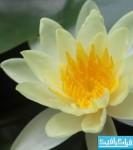 دانلود والپیپر گل لوتوس - Lotus Flower