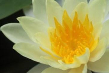 دانلود والپیپر گل لوتوس – Lotus Flower