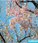 دانلود والپیپر بهار - شکوفه درخت