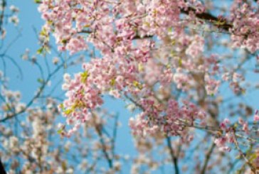 دانلود والپیپر بهار – شکوفه درخت
