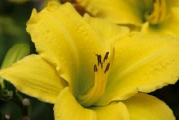 دانلود والپیپر گل زنبق زرد