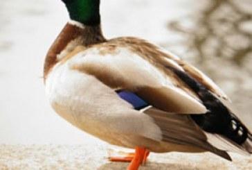 دانلود والپیپر اُردک