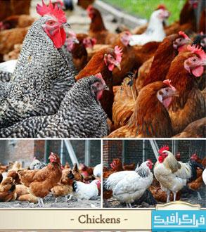 دانلود تصاویر استوک مرغ و خروس