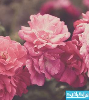 دانلود والپیپر باغ گل رز