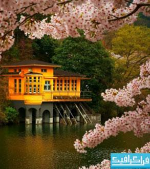 دانلود والپیپر شکوفه های گیلاس