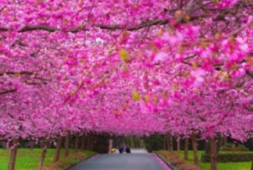 دانلود والپیپر بهار – شکوفه درخت – شماره 2