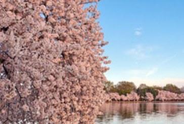 دانلود والپیپر بهار – شکوفه درخت – شماره 4