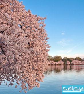 دانلود والپیپر بهار - شکوفه درخت - شماره 4