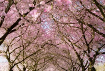 دانلود والپیپر بهار – شکوفه درخت – شماره 3
