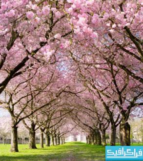 دانلود والپیپر بهار - شکوفه درخت - شماره 3