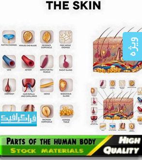 دانلود وکتور های اعضای داخلی بدن انسان