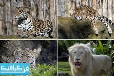 تصاویر استوک حیوانات شیر – ببر – پلنگ