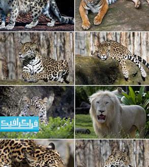 تصاویر استوک حیوانات شیر - ببر - پلنگ
