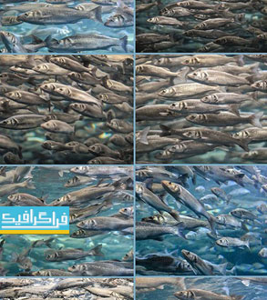 دانلود تصاویر استوک ماهی های خاکستری