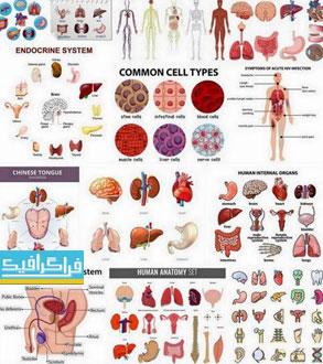 دانلود وکتور های اعضای داخلی بدن انسان - شماره 2