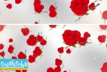 دانلود ویدیو فوتیج گل های رز – پس زمینه سفید