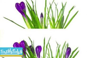 دانلود ویدیو فوتیج گل زعفران روی پس زمینه سفید