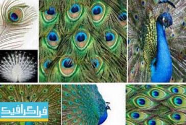 دانلود تصاویر استوک طاووس و پر طاووس