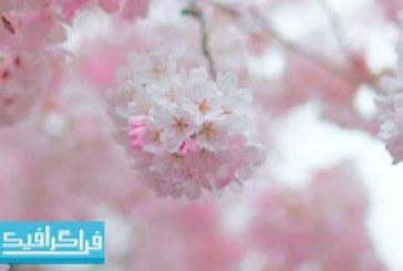 دانلود والپیپر دسکتاپ شکوفه درخت گیلاس