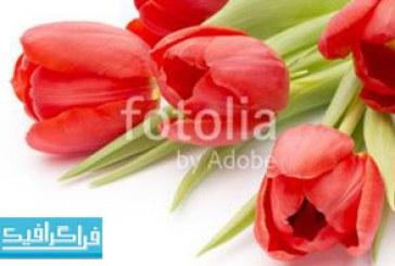 دانلود تصویر استوک گل های لاله روی پس زمینه سفید – رایگان