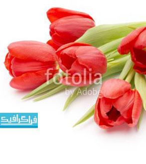 دانلود تصویر استوک گل های لاله روی پس زمینه سفید - رایگان