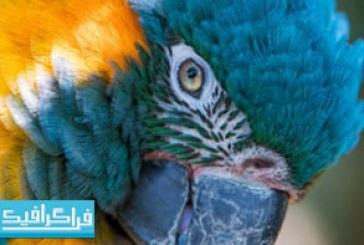 دانلود والپیپر دسکتاپ طوطی آبی و زرد