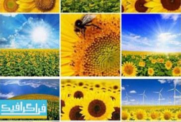 دانلود تصاویر استوک گل های آفتابگردان