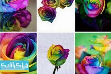 دانلود تصاویر استوک گل های رز رنگارنگ