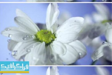 دانلود ویدیو فوتیج افتادن قطرات آب روی گل