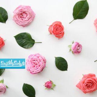 دانلود والپیپر دسکتاپ گل های رز صورتی