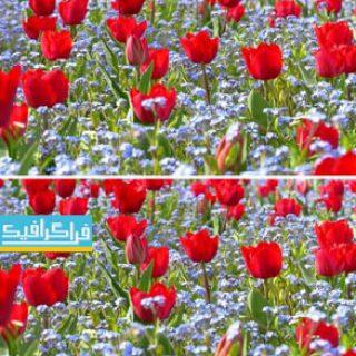 دانلود ویدیو فوتیج باغ گل لاله قرمز