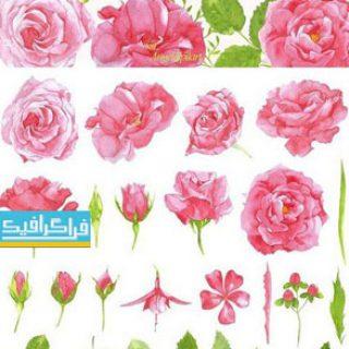 دانلود تصاویر گل رز صورتی طرح آبرنگ - کلیپ آرت