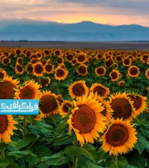 دانلود والپیپر دسکتاپ مزرعه گل آفتابگردان